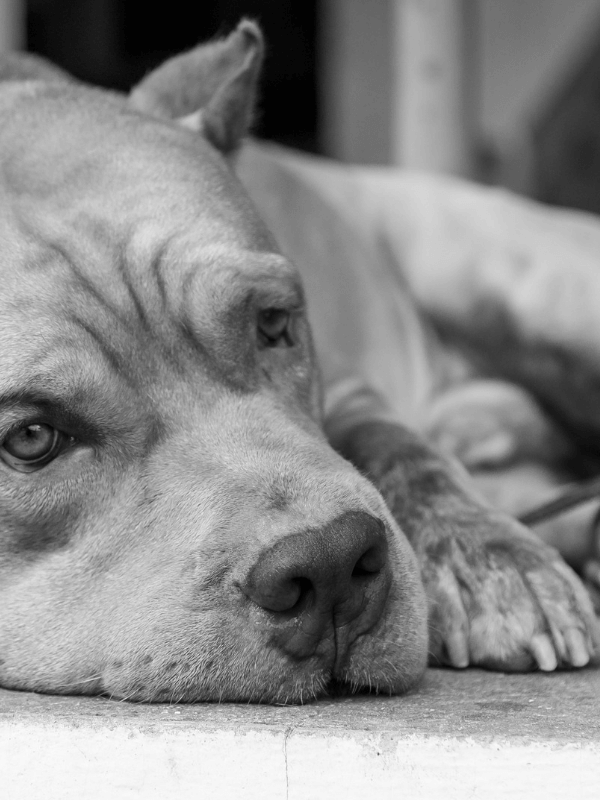 Is Your Dog Suffering From Dog Depression by The Pet Lifestyle Guru