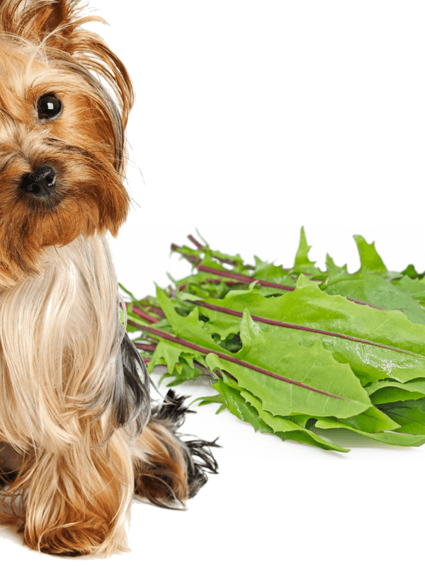 Read how dandelion greens improve dog's health - The Pet Lifestyle Guru